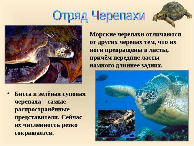 Бисса и зелёная суповая черепаха – самые распространённые представители. Сейч...