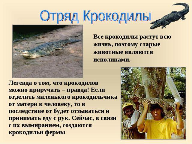 Все крокодилы растут всю жизнь, поэтому старые животные являются исполинами....