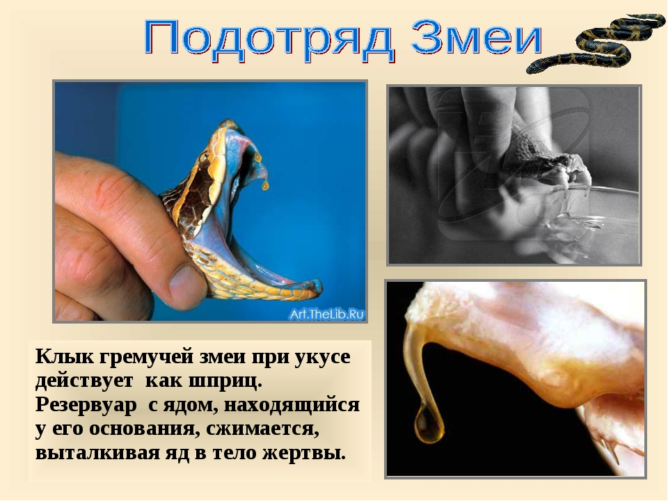 Клык гремучей змеи при укусе действует как шприц. Резервуар с ядом, находящий...