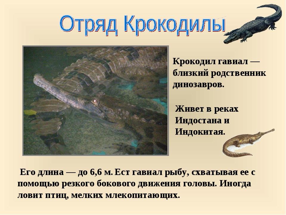 Его длина — до 6,6 м. Ест гавиал рыбу, схватывая ее с помощью резкого боково...
