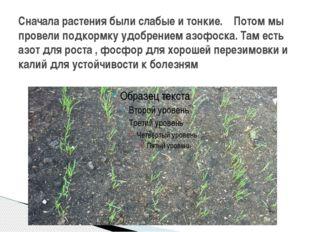 Сначала растения были слабые и тонкие. Потом мы провели подкормку удобрением