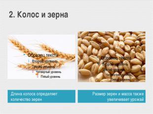 2. Колос и зерна Длина колоса определяет количество зерен Размер зерен и масс