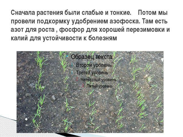 Сначала растения были слабые и тонкие. Потом мы провели подкормку удобрением...