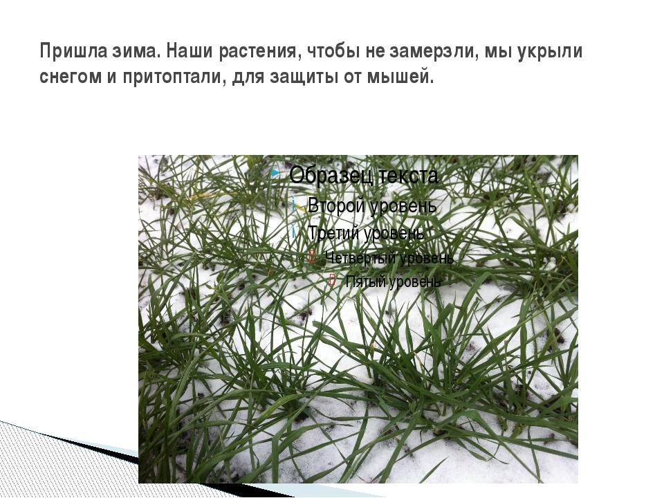 Пришла зима. Наши растения, чтобы не замерзли, мы укрыли снегом и притоптали,...