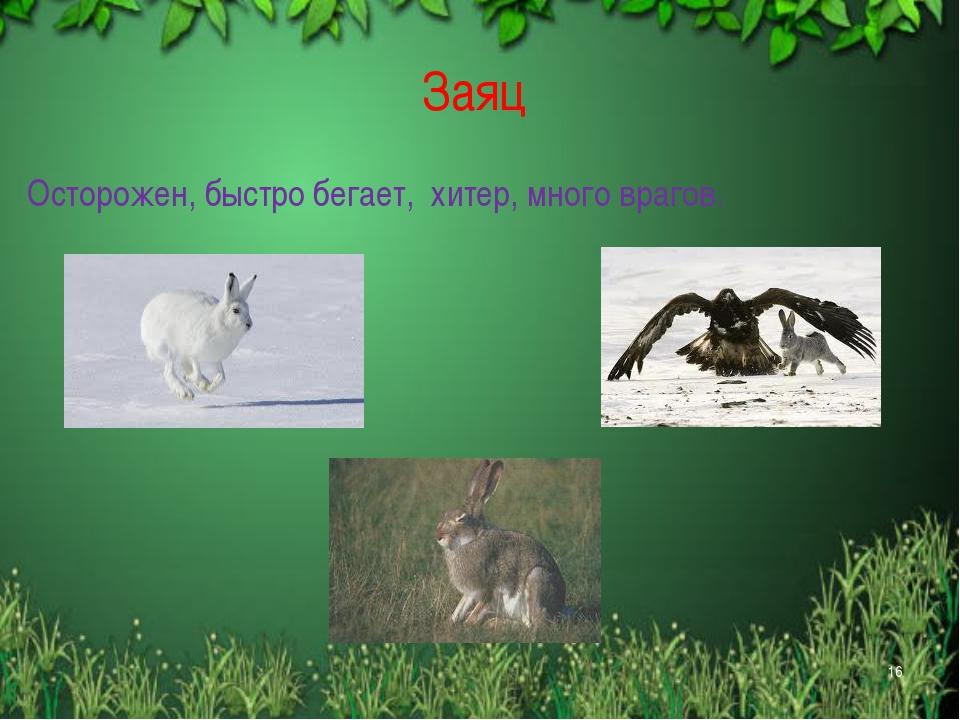 Заяц Осторожен, быстро бегает, хитер, много врагов. *