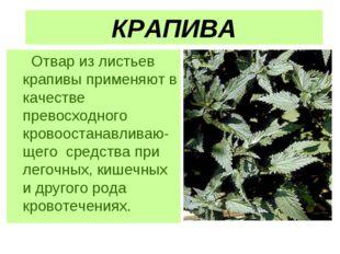 КРАПИВА Отвар из листьев крапивы применяют в качестве превосходного кровооста