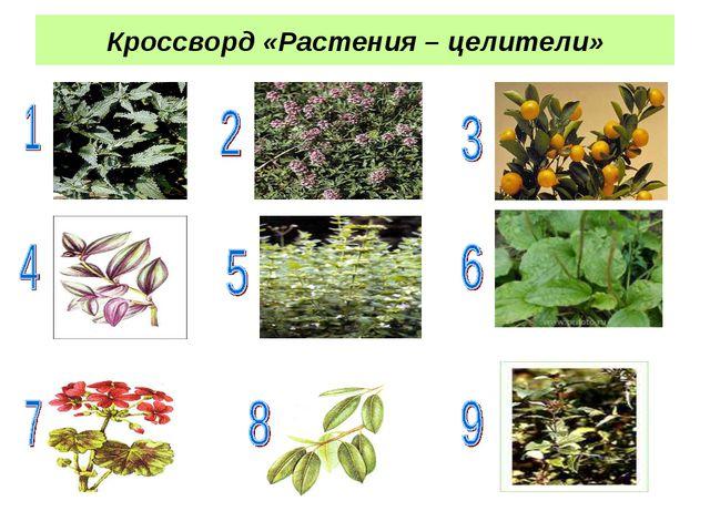 Кроссворд «Растения – целители»