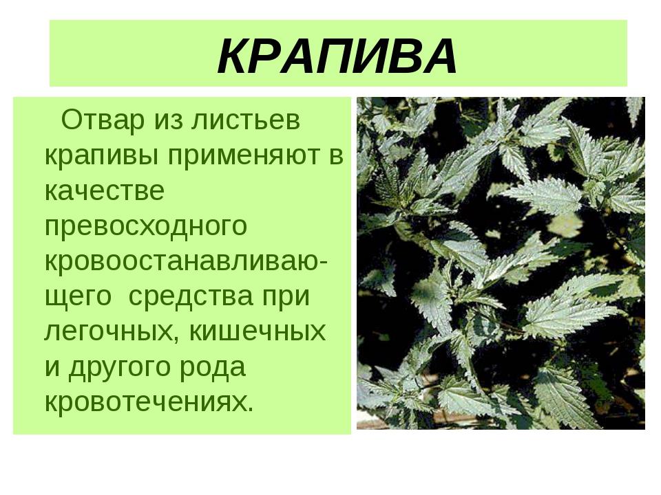 КРАПИВА Отвар из листьев крапивы применяют в качестве превосходного кровооста...