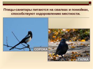 Птицы-санитары питаются на свалках и помойках, способствуют оздоровлению мест