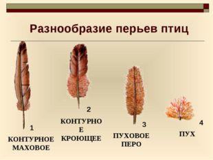 Разнообразие перьев птиц КОНТУРНОЕ МАХОВОЕ КОНТУРНОЕ КРОЮЩЕЕ ПУХОВОЕ ПЕРО ПУХ
