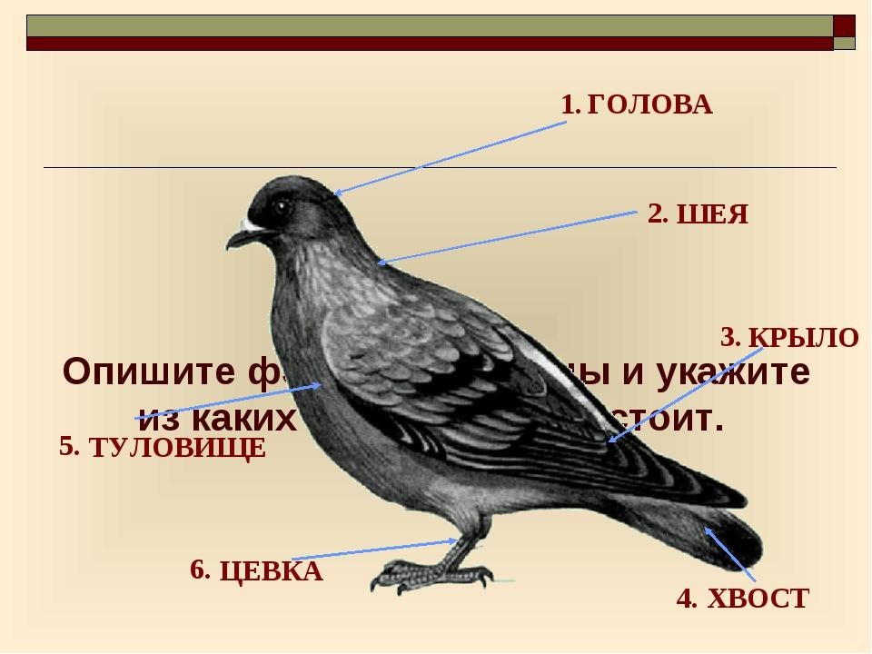 Опишите форму тела птицы и укажите из каких отделов оно состоит. 1. 2. 3. 4....