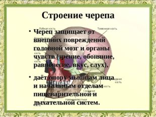 Строение черепа Череп защищает от внешних повреждений головной мозг и органы