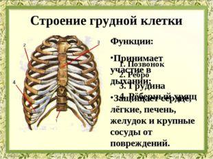 Строение грудной клетки Функции: Принимает участие в дыхании; Защищает сердце