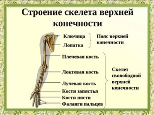 Ключица Лопатка Плечевая кость Локтевая кость Лучевая кость Кости запястья Ко