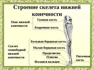 Тазовая кость Бедренная кость Большая берцовая кость Малая берцовая кость Пре