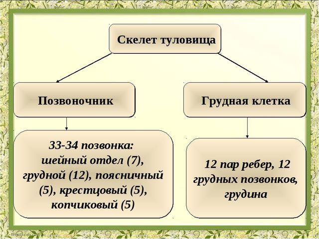 Скелет туловища 33-34 позвонка: шейный отдел (7), грудной (12), поясничный (...