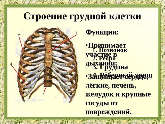 Строение грудной клетки Функции: Принимает участие в дыхании; Защищает сердце...