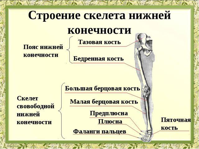 Тазовая кость Бедренная кость Большая берцовая кость Малая берцовая кость Пре...