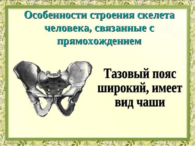 Особенности строения скелета человека, связанные с прямохождением