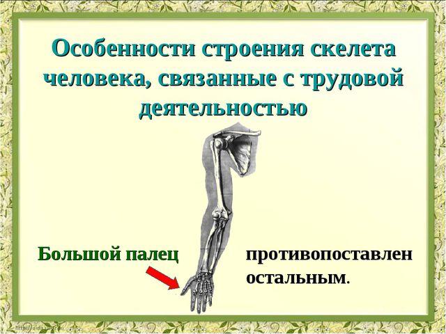 Большой палец противопоставлен остальным. Особенности строения скелета челове...
