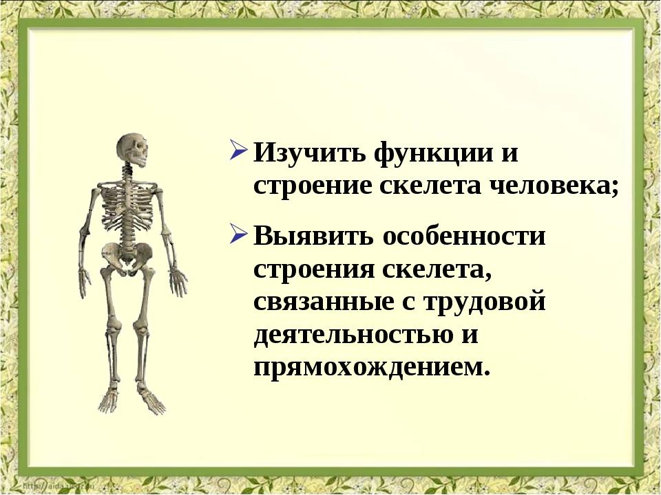 Изучить функции и строение скелета человека; Выявить особенности строения ске...