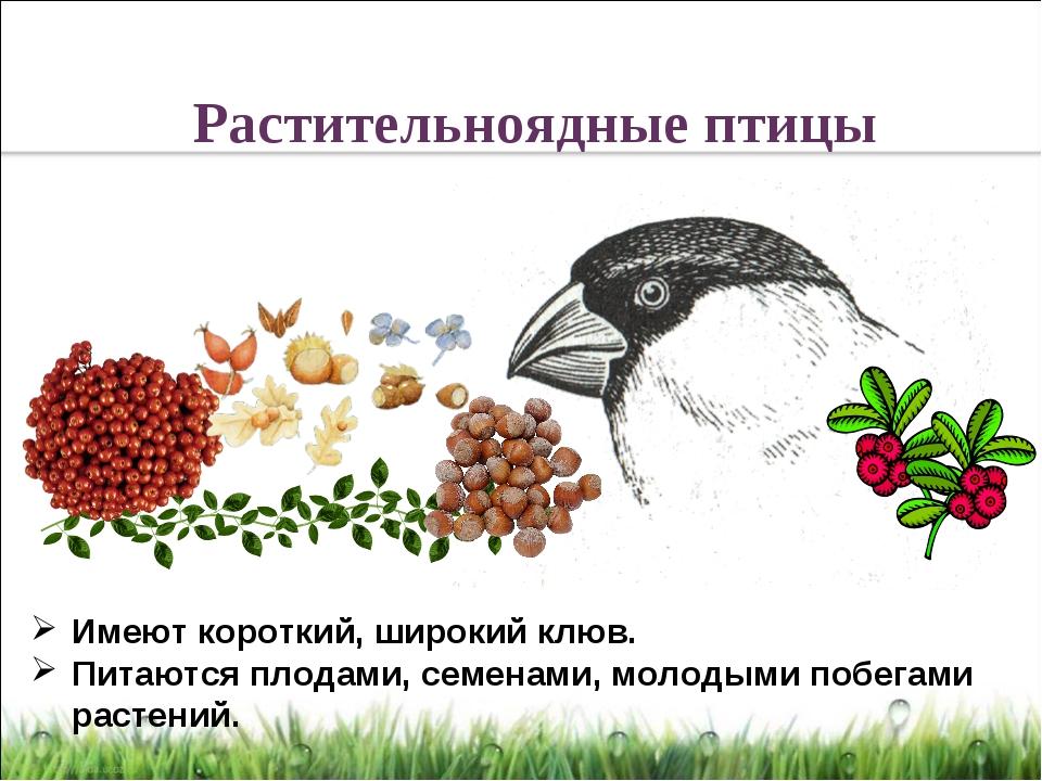 Имеют короткий, широкий клюв. Питаются плодами, семенами, молодыми побегами р...