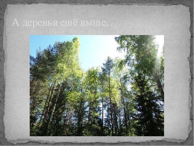 А деревья ещё выше…