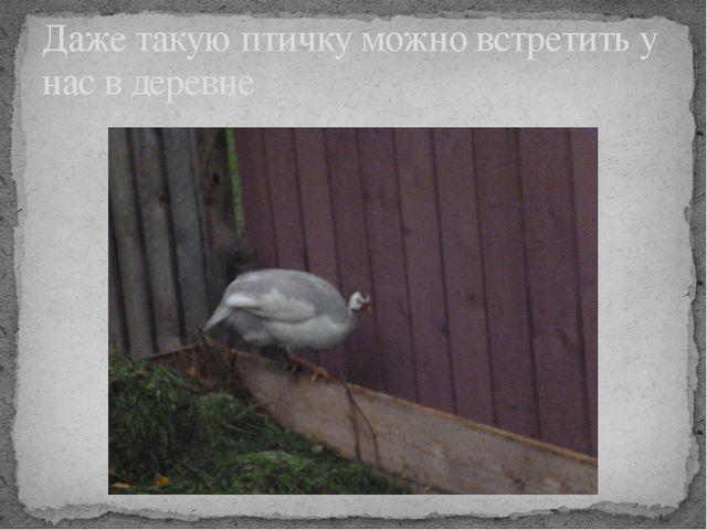 Даже такую птичку можно встретить у нас в деревне