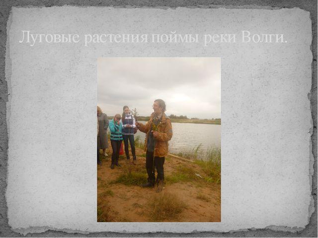 Луговые растения поймы реки Волги.