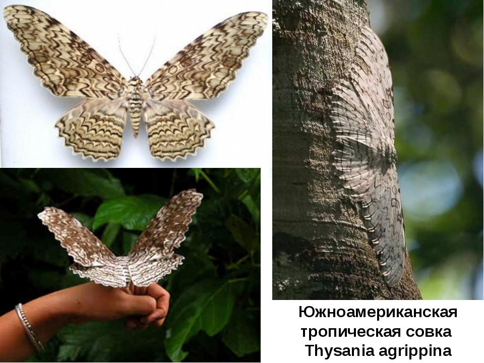 Южноамериканская тропическая совка Thysania agrippina