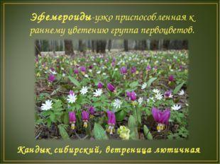 Эфемероиды-узко приспособленная к раннему цветению группа первоцветов. Кандык