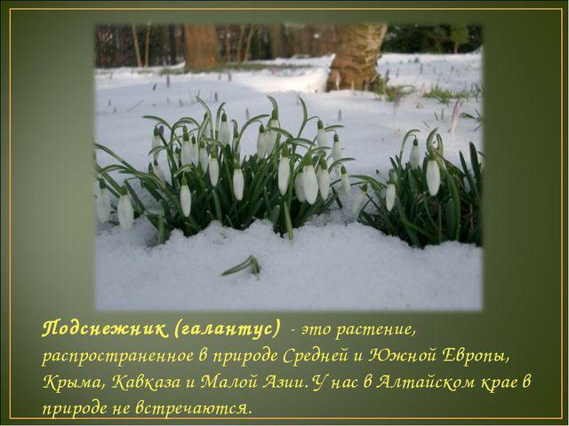 Подснежник (галантус) - это растение, распространенное в природе Средней и Юж...