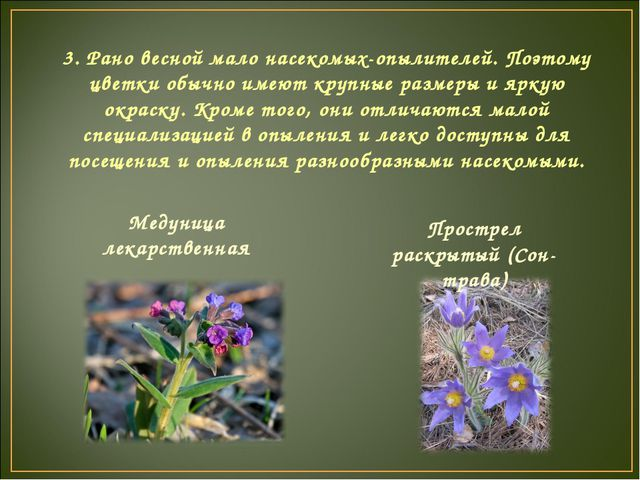 3. Рано весной мало насекомых-опылителей. Поэтому цветки обычно имеют крупные...