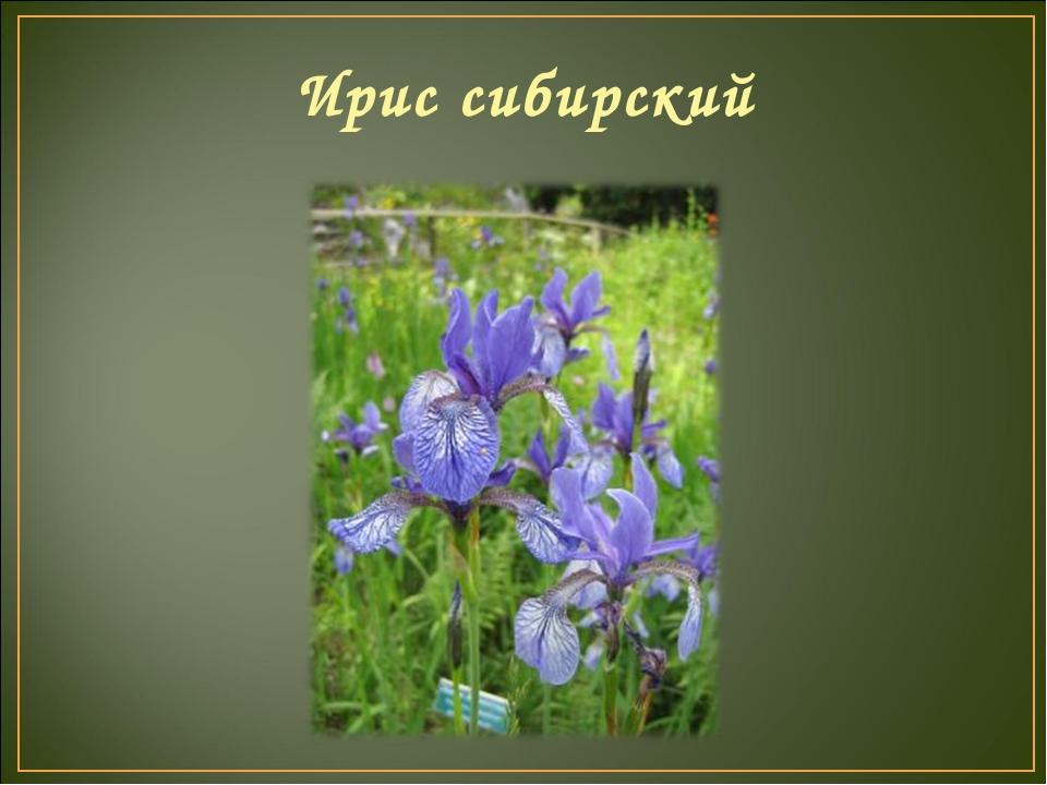 Ирис сибирский