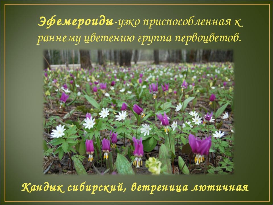 Эфемероиды-узко приспособленная к раннему цветению группа первоцветов. Кандык...