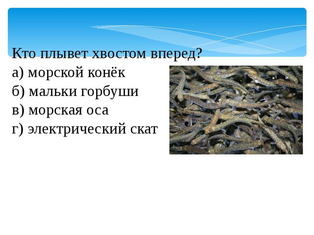Кто плывет хвостом вперед? а) морской конёк б) мальки горбуши в) морская оса...