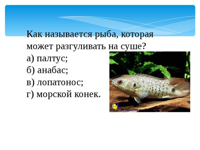 Как называется рыба, которая может разгуливать на суше? а) палтус; б) анабас;...