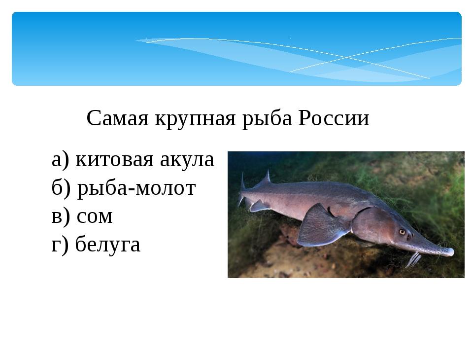 Самая крупная рыба России а) китовая акула б) рыба-молот в) сом г) белуга