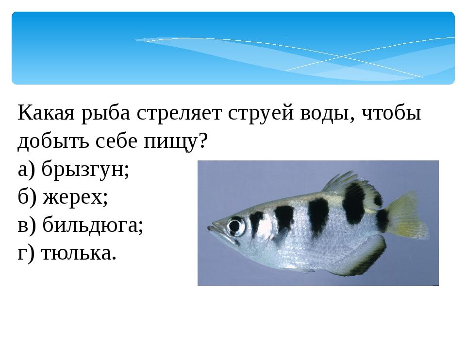 Какая рыба стреляет струей воды, чтобы добыть себе пищу? а) брызгун; б) жерех...