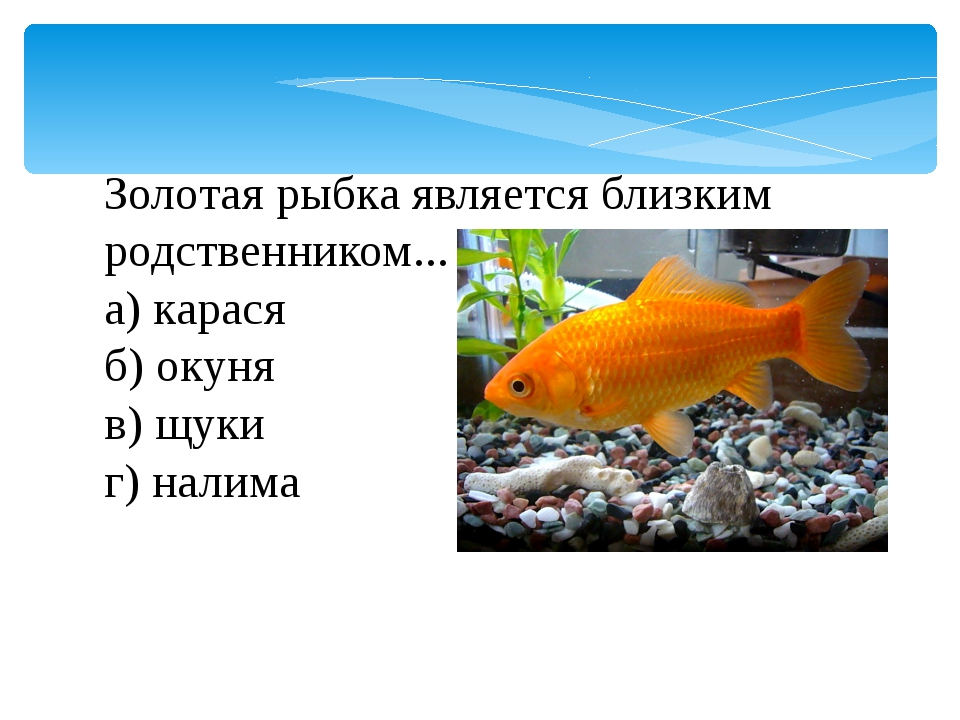 Золотая рыбка является близким родственником... а) карася б) окуня в) щуки...