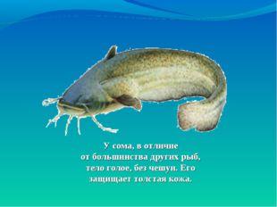 Усома, вотличие отбольшинства других рыб, тело голое, без чешуи. Его защищ