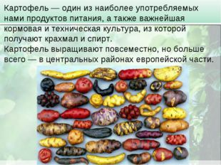 Картофель — один из наиболее употребляемых нами продуктов питания, а также ва