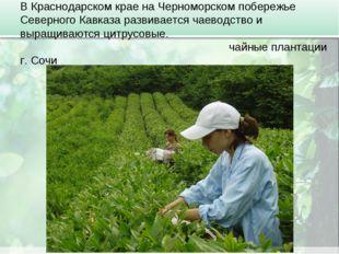 В Краснодарском крае на Черноморском побережье Северного Кавказа развивается
