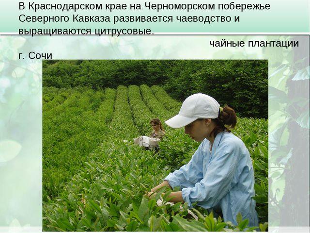 В Краснодарском крае на Черноморском побережье Северного Кавказа развивается...