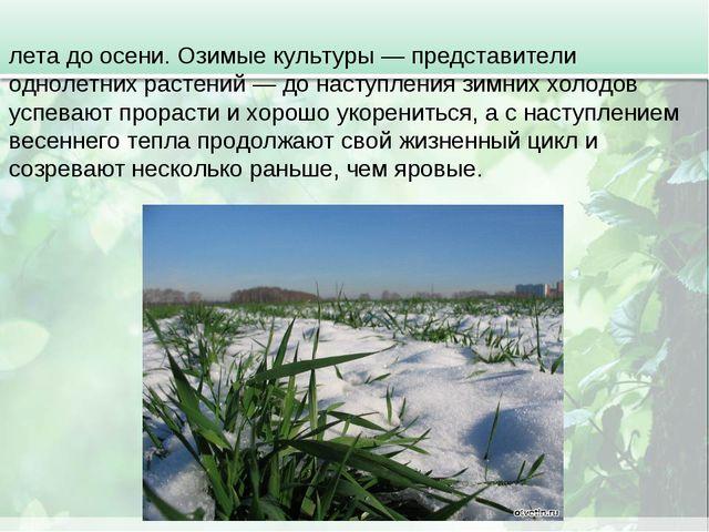 Озимые посе́вы — обычно озимые зерновые сеют с конца лета до осени. Озимые ку...