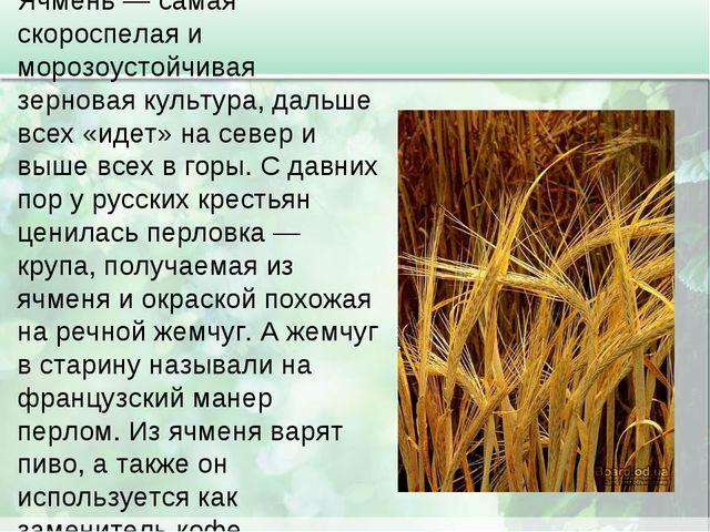 Ячмень — самая скороспелая и морозоустойчивая зерновая культура, дальше всех...