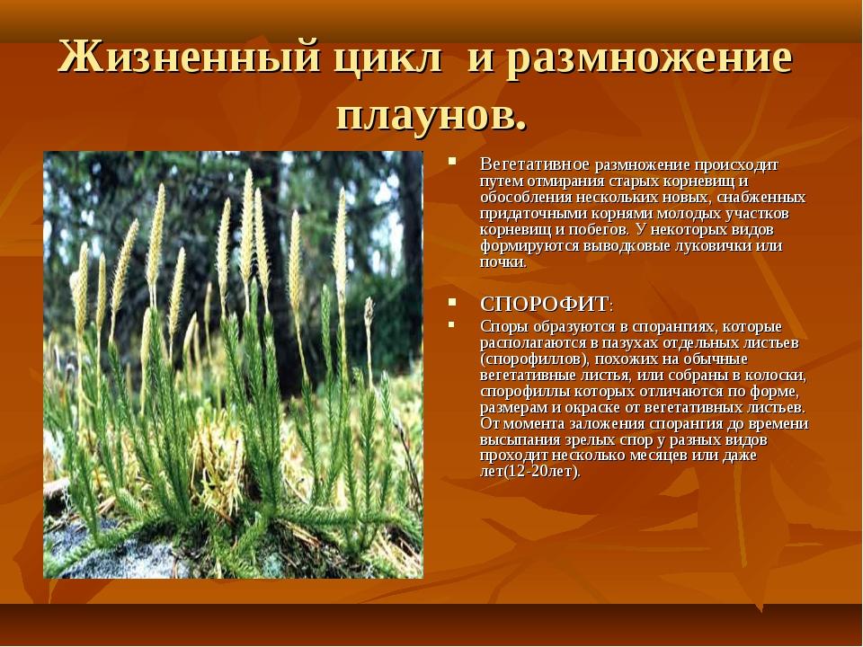 Жизненный цикл и размножение плаунов. Вегетативное размножение происходит пут...