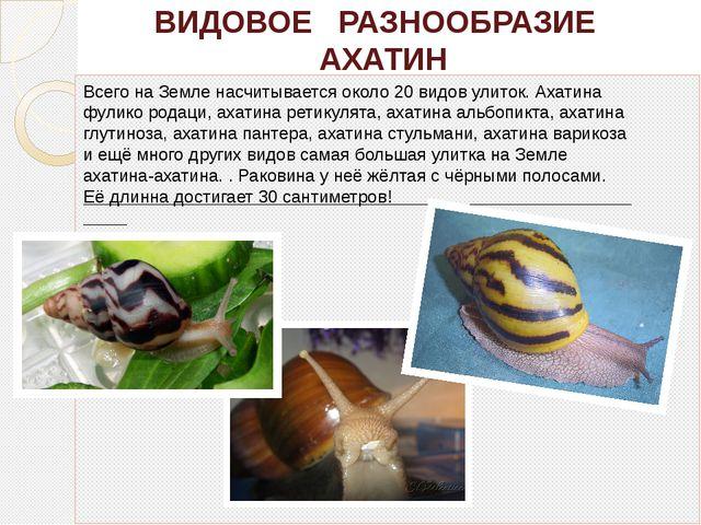 ВИДОВОЕ РАЗНООБРАЗИЕ АХАТИН Всего на Земле насчитывается около 20 видов улит...