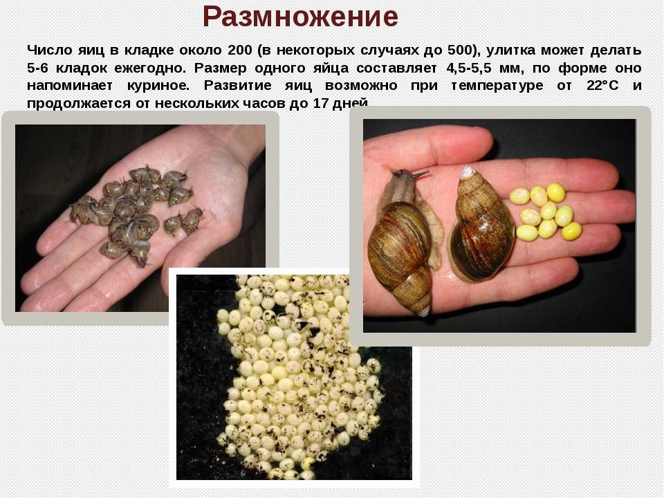 Размножение Число яиц в кладке около 200 (в некоторых случаях до 500), улитка...