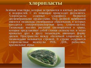хлоропласты Зелёные пластиды, которые встречаются в клетках растений и водоро